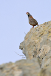 Red-legged Partrige / Rothuhn (Alectoris rufa)