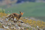 Red Fox / Rotfuchs (Vulpes vulpes)